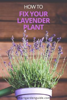 How to fix a dying Lavender Plant. Find out what has gone wrong with your Lavender plant and how to fix it. I can help you identify exactly what is wrong with your plant and give you step by step instructions to get your plant thriving again.