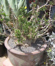Pachypodium saundersii 2