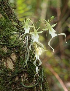 Dendrophylax lindenii, the ghost Orchid, is a perennial Hemicriptofito of the family of orchids. Formerly included as Dendrophylax, this Orchid has moved recently to the genus Dendrophylax. Source: Wikipedia-Argentina society of horticulture and MOSS