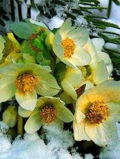 'Es blüht eine Rose zur Weihnachtszeit ...' von Dirk h. Wendt bei artflakes.com als Poster oder Kunstdruck $18.03