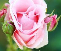 Péče o růže, řez růží, výsadba a odrůdy růží - Březen, díl třetí