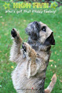 High five for Friday! Barney - the Border Terrier www.scruffylittleterrier.com
