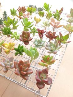 just invented a bicycle 😎 using baking rack you can dry cuttings not getting them bent Propagating Succulents, Cacti And Succulents, Planting Succulents, Planting Flowers, Succulent Cuttings, Cactus Planta, Cactus Y Suculentas, Miniature Plants, Miniature Fairy Gardens