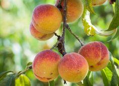 F. Boucourt - Rustica – Fruit Tree Garden, Fruit Trees, Potager Garden, Grow Your Own Food, Farm Gardens, Plantation, Permaculture, Agriculture, Vegetable Garden
