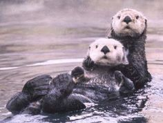 sea otters swim