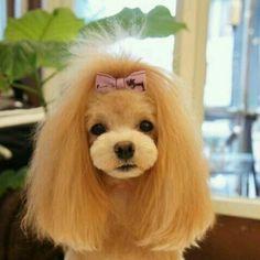 Asian style poodle groom opawz.com  supply pet hair dye,pet hair chalk,pet perfume,pet shampoo,spa....