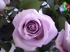 For my birthday, my boyfriend sent me the most beautiful roses ever! They are lavender roses. It's the most deep lavender I've seen. I have bush at home, but it's more silver lavender. They smell so sweet too!    I didn't know Vera Wang had roses?     mg