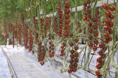 De veelzijdige tomaat is het belangrijkste product uit de Nederlandse glastuinbouw. #samensterk