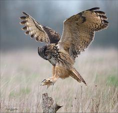 Eagle Owl by DaveOvenden #animals #animal #pet #pets #animales #animallovers #photooftheday #amazing #picoftheday