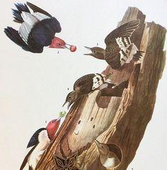 "Vtg 1940/'s Audubon Art Print Color Litho WATER MARSH BIRD 9/"" x 12/"" SEE VARIETY"