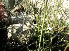 Bulbinella graminifolia Rare Cats, Coastal, Africa, World, Plant, The World