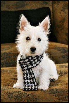 westie... in a scarf!
