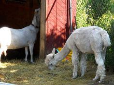 Shaved white Alpaca and white Nubian/Boer dairy goat