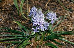 The Spring Squill is a perennial that loves the sunlight.  With its beautiful purple petals this flower will surely brighten up your spring and summer!