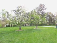 30+ year old Red Delicious apple trees blooming via Dane S.   #starkbros customer photo