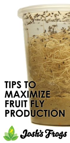 Expert tips to maximize your fruit fly production. Make your pet dart frogs happy and save money culturing your own feeder insects!