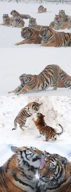 The Gathering of Siberian Tigers.