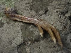 1 Chicken foot, respectfully, naturally cleaned & preserved in relaxed position. Some leg scales shed naturally. These are stock photos, you will NOT get these exact items, but ones very similar. Please respect each animals individuality. Please convo me with any specific requirements.