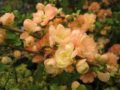 Chaenomeles Speciosa Geisha Girl or Japanese Quince Shrub Image 1 Peach Flowers, Pretty Flowers, Chaenomeles, Garden Shrubs, Geisha, Garden Design, Planters, Japanese, Flowers