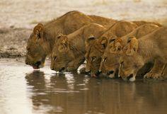 Lions, CHOBE NATIONAL PARK, BOTSWANA.