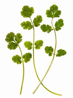 Cilantro: It works as a purifying agent to rid the body of toxic metals quickly.    Read more: Foods for Healthy Shiny Hair - How To Get Shiny Hair Naturally - Real Beauty