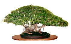 Photograph taken by Ed Trout at The Bonsai Societies of Florida convention on Miami Beach in Oct 1988