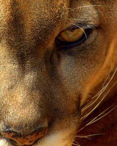 I am the mountain lion mama!