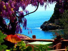 Blooming Wisteria Tree Positano - Italy