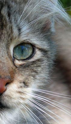 magical-meow : Green eye by Nebojsa Mladjenovic on Flickr.