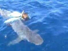 Angler takes 'catch and release' to the extreme; jumps overboard to revive 300-pound bull shark Florida fisherman meant well, but his actio...