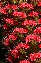 Echium wildpretii  エキウム・ウィルドプレッティ (ashitaka-f studio k2) Tags: flower red echium wildpretii エキウム ウィルドプレッティ ムラサキ科 boraginaceae
