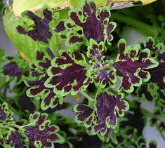 Purple & Chartreuse:  Instead of floral arrangements try coleus.  It's available in a variety of color combos.  Look for it n the annual plant section of your local garden store.      The best thing about choosing coleus.  You can take it home after the wedding & enjoy it for the rest of the growing season.