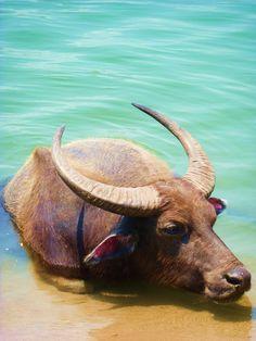 Water Buffalo, Don Det, Si Phan Don, Laos