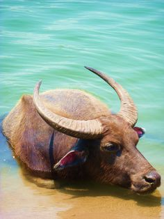 Water Buffalo, Don Det, Si Phan Don, Laos
