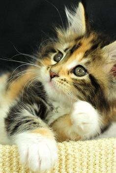 Stunning long haired calico. Not just long hair but long whiskers too!