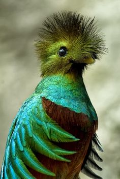 This is the Resplendent Quetzal. The Resplendent Quetzal was considered sacred to the Mayans - so sacred, in fact, that the punishment for killing a Quetzal was death / birds Pretty Birds, Love Birds, Beautiful Birds, Animals Beautiful, Cute Animals, Wild Animals, Baby Animals, Weird Birds, Small Birds