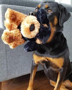 """Figure out even more relevant information on """"rottweiler puppies"""". Check out our internet site. Baby Rottweiler, German Rottweiler Puppies, Rottweiler Facts, Rottweiler Training, German Dog Breeds, Pet Breeds, Dogs And Kids, I Love Dogs, Pets"""