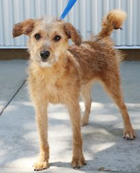 Dara! is an adoptable Irish Terrier Dog in Sacramento, CA. Dex and Dara were rescued from the shelter and are looking for great new homes! They are super playful and social - they seem to love everyon...