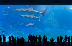 Whale sharks are cartilaginous fish.