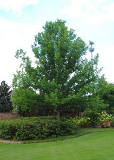 Fast growing broadleaf oak, tolerant of wet sites. Yellow fall color, exfoliating bark (similiar to white oak) at a young age. Shade Trees, Oak Tree, Shades, Exterior, Gardening, Park, Plants, Image, Lawn And Garden