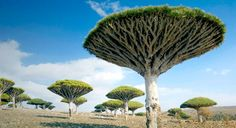 The Dragon's Blood Tree - Something from a Dr. Suess book? No. Something from a Science Fiction book? No. Something from Islands in the Indian Ocean? Bingo! #trees #weird #bizarre