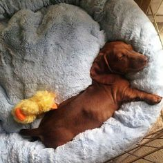 Meeting the nap quota dachshund. Dachshund Funny, Dachshund Puppies, Dachshund Love, Cute Puppies, Cute Dogs, Chihuahua, Daschund, Weenie Dogs, Doggies