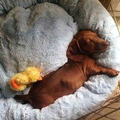 Meeting the nap quota dachshund. Dachshund Funny, Dachshund Puppies, Dachshund Love, Cute Puppies, Cute Dogs, Weenie Dogs, Doggies, Miniature Dachshunds, Scottish Terrier