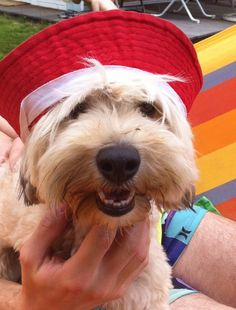 Puppi the dog with a summer hat #weibiloves