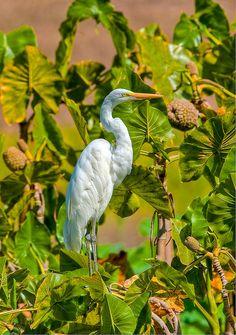 Great Egret, Parque del Este, Caracas, Venezuela