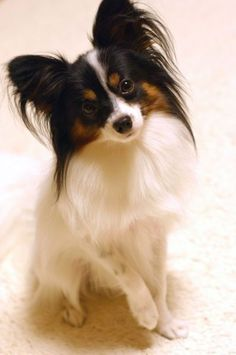 6 Smallest Dog Breeds :: The Papillon :: also called the Continental Toy Spaniel, is a breed of dog of the Spaniel type. The temperament of a papillon is a happy, friendly, adventurous dog. They are not shy or aggressive Perro Papillon, Papillion Dog, Papillon Puppies, Cutest Small Dog Breeds, Cute Small Dogs, Norfolk Terrier, Lakeland Terrier, Beautiful Dogs, Animals Beautiful