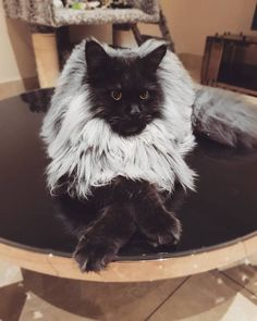 Black maine coon cat with white mane Cute Cats And Kittens, I Love Cats, Crazy Cats, Cool Cats, Kittens Cutest, Pretty Cats, Beautiful Cats, Animals Beautiful, Image Chat