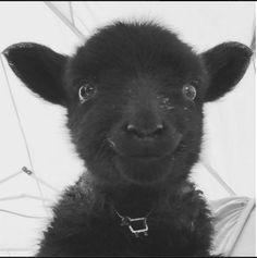 Who says baa baa black sheep don't have fun? Happy Animals, Cute Baby Animals, Farm Animals, Animals And Pets, Funny Animals, Black Animals, Mundo Animal, My Animal, Beautiful Creatures