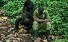 Twelve rangers killed in latest Virunga Park incident Great Lakes Region, Mountain Gorilla, Chimpanzee, Wildlife Conservation, Ranger, National Parks, Lion Sculpture, Hunters, Mothers