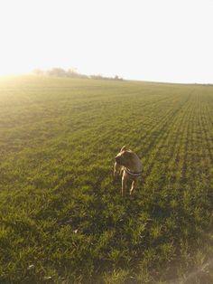 Květnice můj pes Armáni na poli v Květnici při začátku západu slunce :)